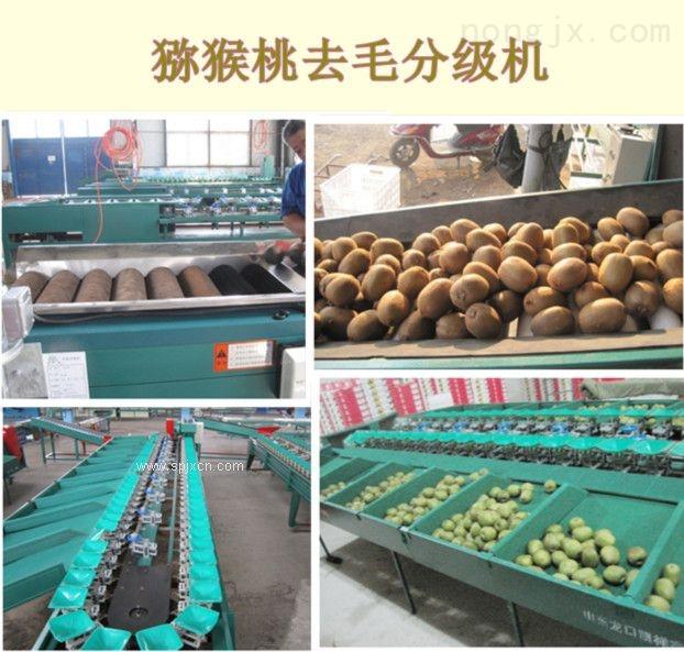 XGJ-MHT-供应猕猴桃选果机厂家 去浮毛分选猕猴桃选果机 猕猴桃分选大小机器