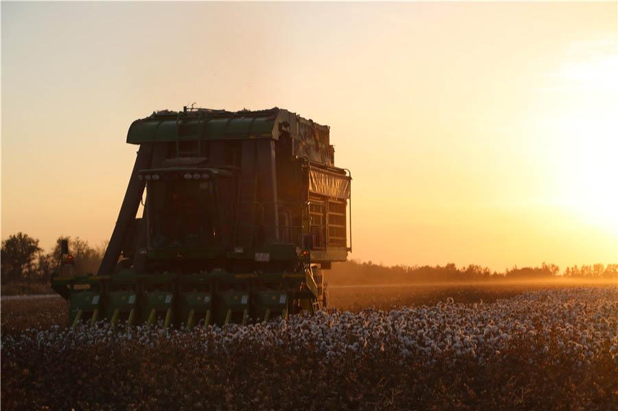 三十团:棉花机械采摘展现秋收风景