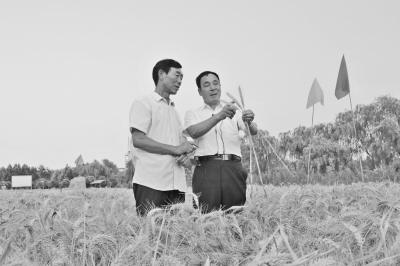 中国冬小麦亩产新纪录在河北省诞生