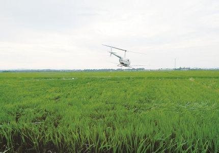葫芦岛首次采用直升机飞防水稻